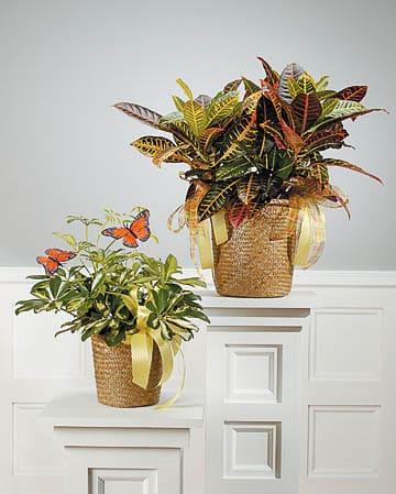 Plants-6 Funeral Plants