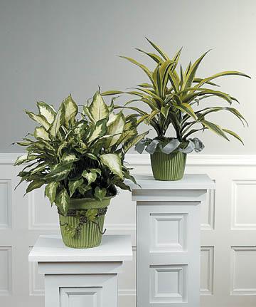 Plants-8 Funeral Plants