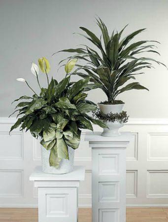 Plants-9 Funeral Plants