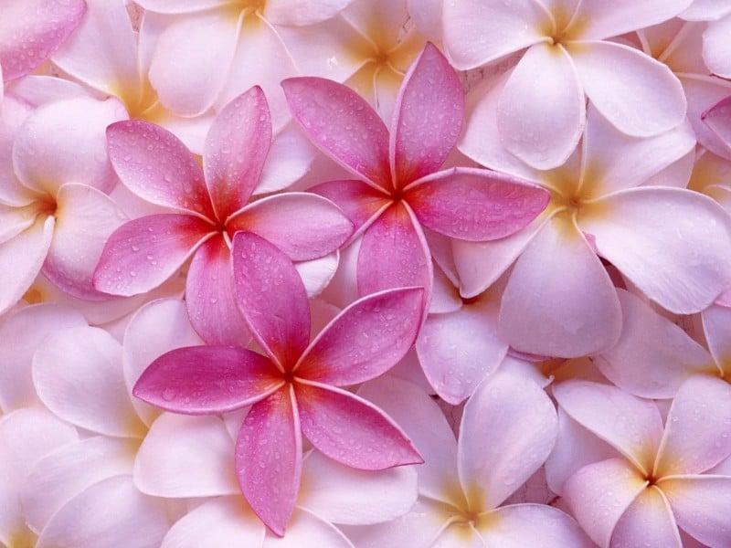 hawaiian-plumeria-hawaiian-leis-800x600 Hawaiian Leis