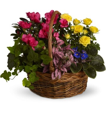 African violet, yellow rose plant, pink azalea, hypoestes and ivy plants
