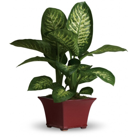 beautiful dieffenbachia