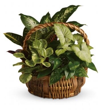 othos, nephthytis, dieffenbachia, croton and peperomia plants