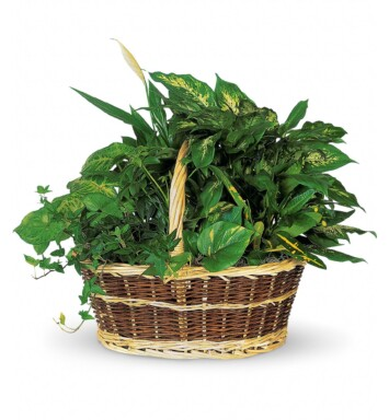 Croton, ivy, pothos, dieffenbachia in a
