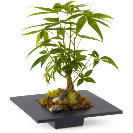 money tree - or Pachira
