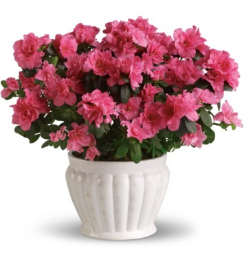 pink azalea in white bowl