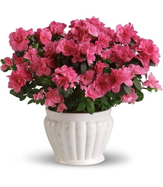 pink azalea in white bowl