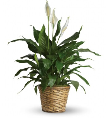 Spathiphyllum - Medium Plant